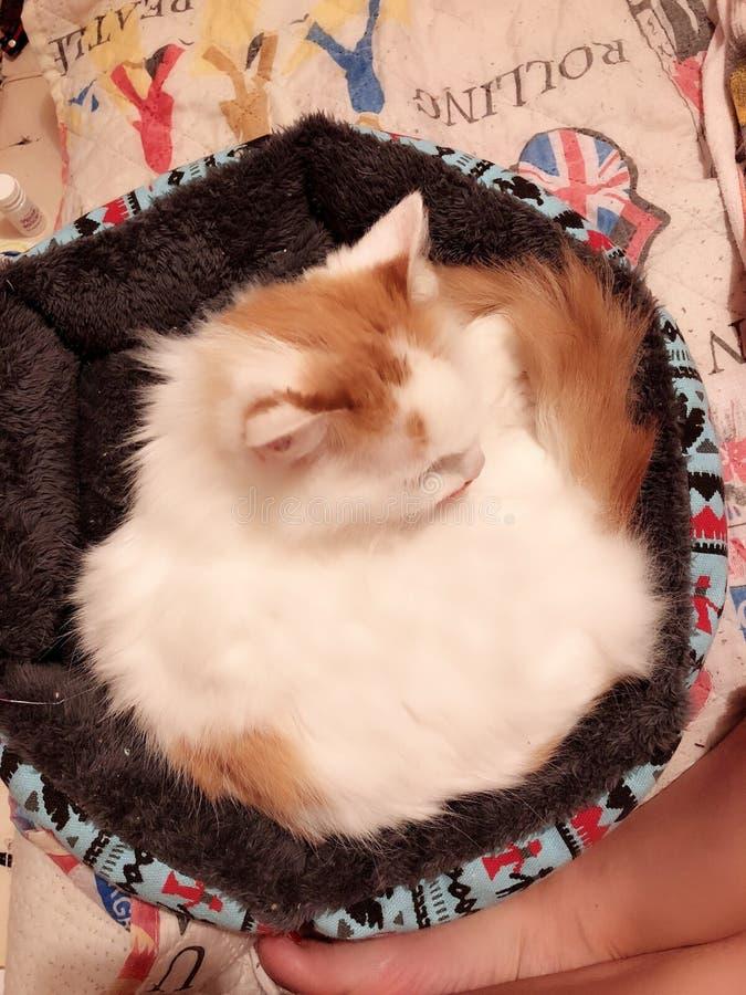 Witte en rode kat stock fotografie