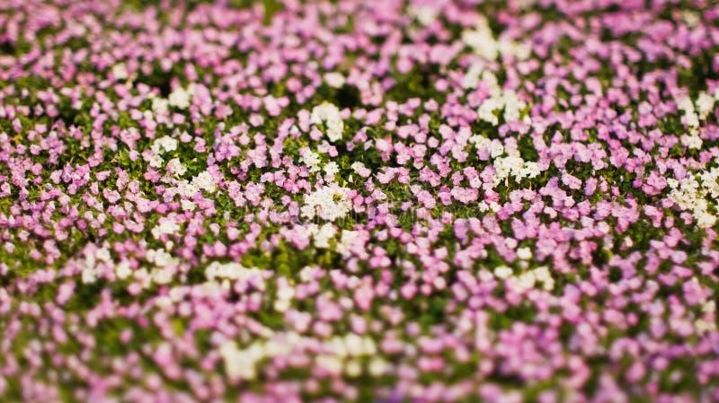 Witte en roze bloemen royalty-vrije stock afbeeldingen