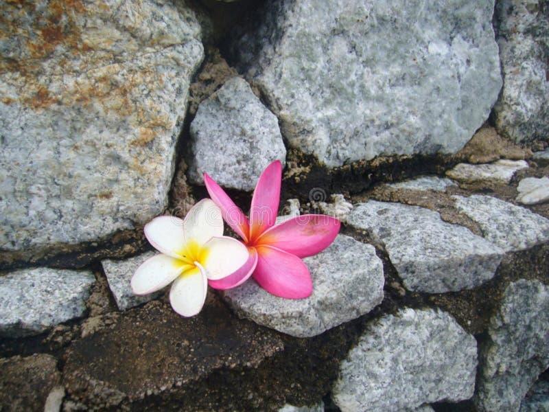 Witte en roze bloemen van plumeria stock afbeeldingen
