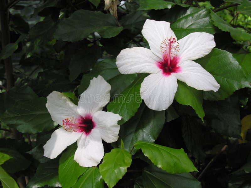 Witte en roze hibiscusbloem royalty-vrije stock fotografie