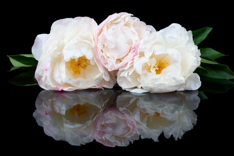 Witte en roze pioenen royalty-vrije stock foto