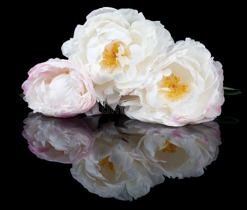 Witte en roze pioenen royalty-vrije stock afbeelding