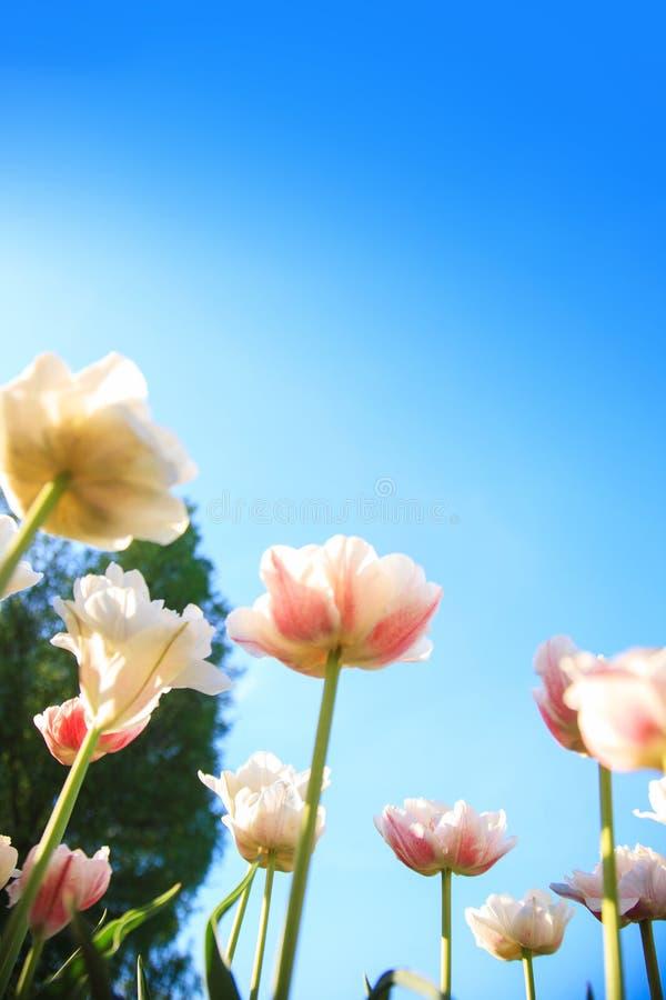 Witte en roze tulpen op de achtergrond van blauwe hemel en groen grasclose-up royalty-vrije stock afbeeldingen