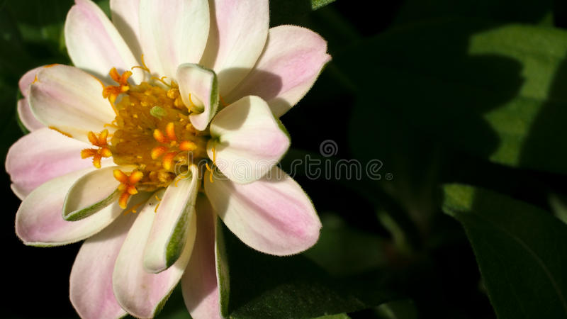 Witte en Roze Zinnia stock afbeeldingen