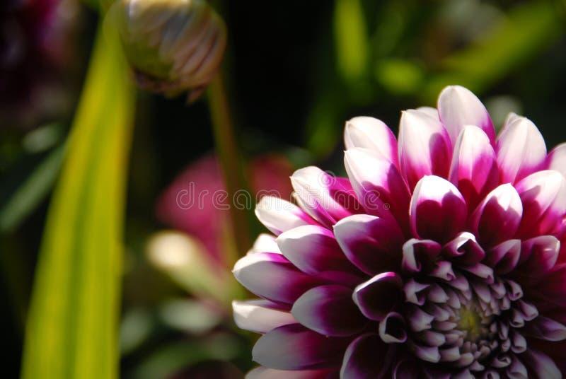 Witte en violette bebouwde Dahliabloem stock foto
