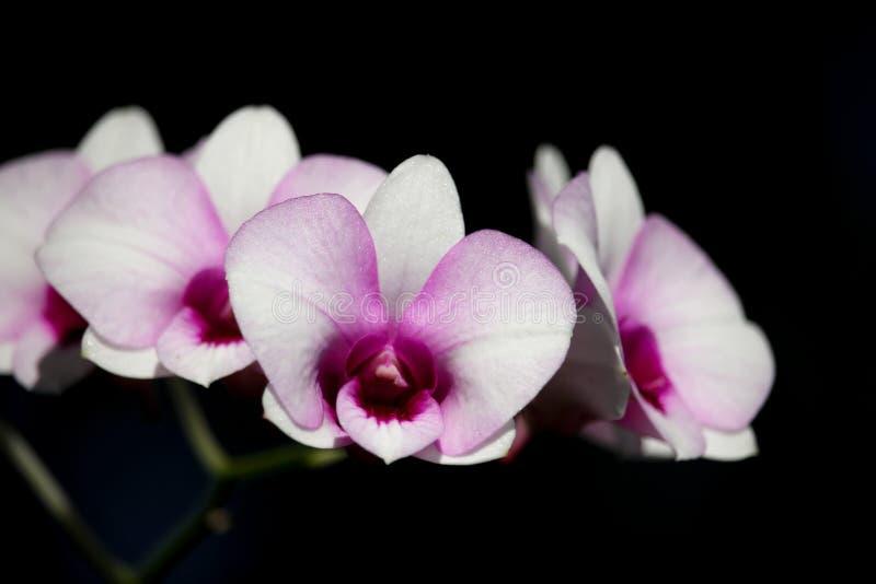 Witte en zachte Roze orchideebloem stock foto's