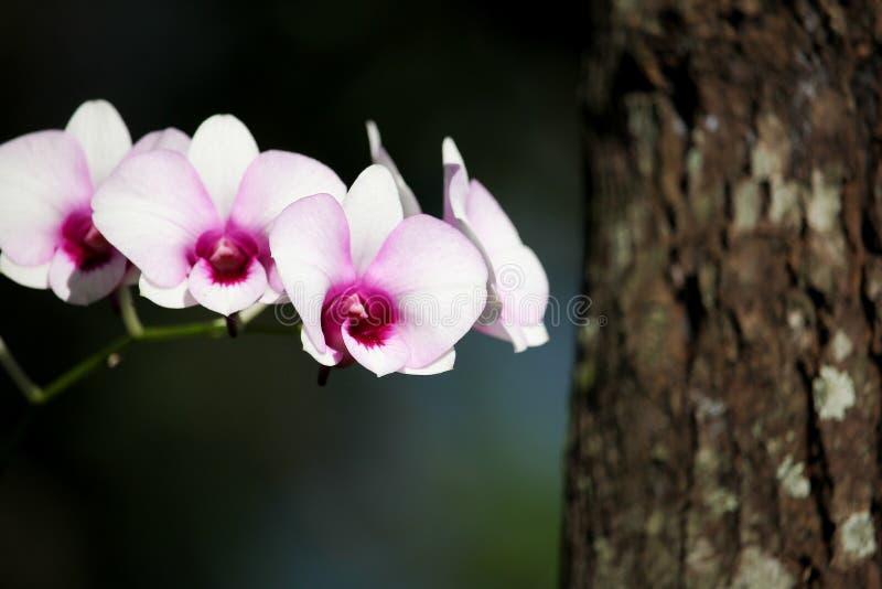 Witte en zachte Roze orchideebloem royalty-vrije stock afbeeldingen