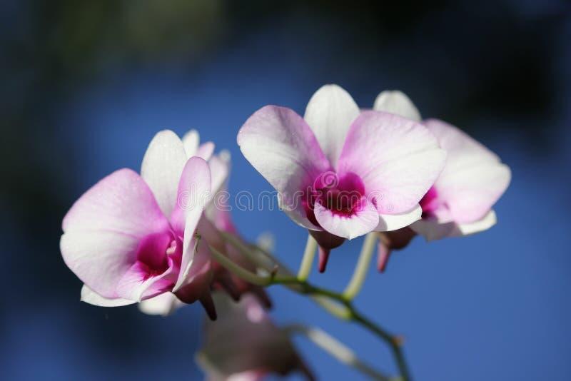 Witte en zachte Roze orchideebloem stock afbeeldingen