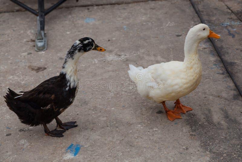 Witte en zwarte ganzen op de waterkant dichtbij het water stock foto