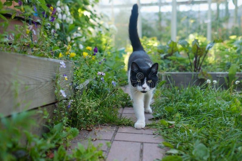 Witte en zwarte kat die in groene de zomertuin lopen royalty-vrije stock foto