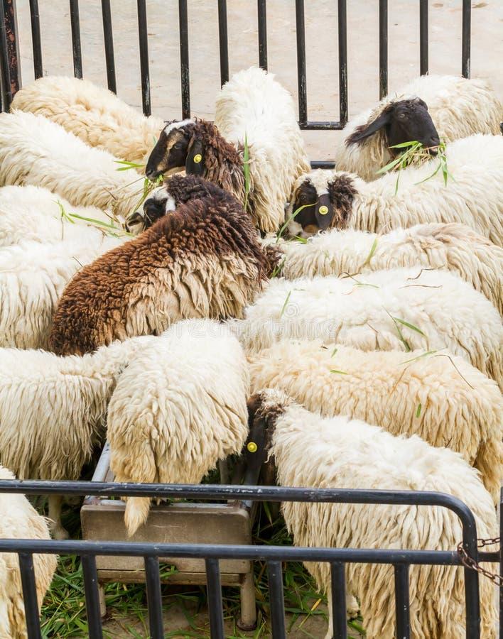 Witte en zwarte Sheeps die gras eten stock afbeelding
