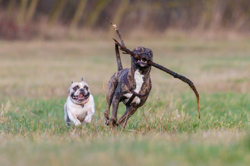 Witte Engelse Buldoglooppas zij aan zij met chocolade getijgerd Amerikaans Pit Bull Terrier met een stok in zijn tanden stock foto's