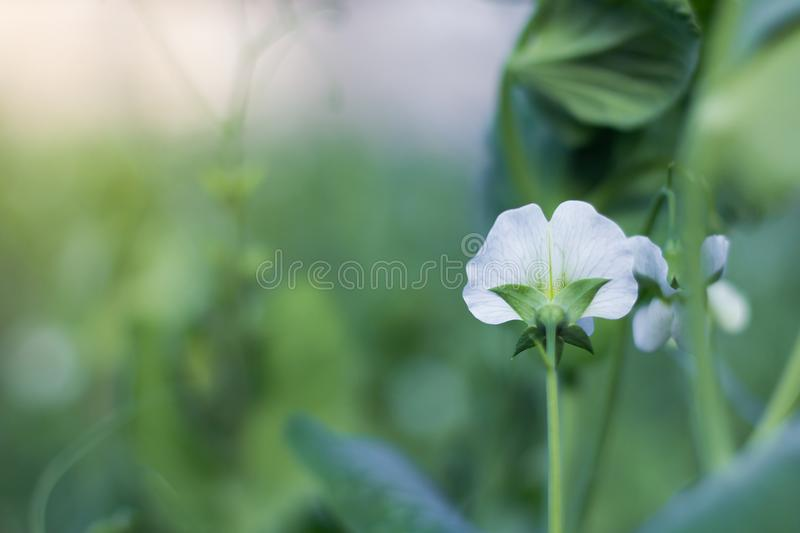 Witte erwtenbloem in tuin royalty-vrije stock foto's