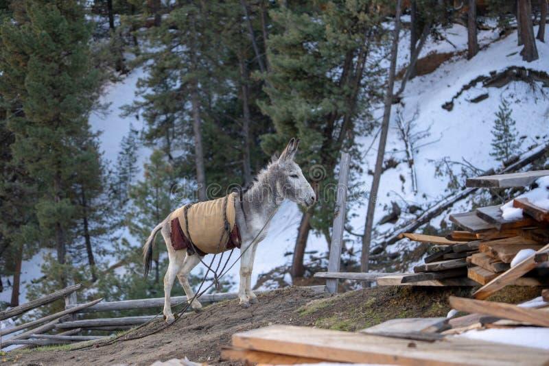 Witte ezel die zich in de landbouwbedrijfkooi bevinden met witte sneeuw en groene pijnboom stock fotografie