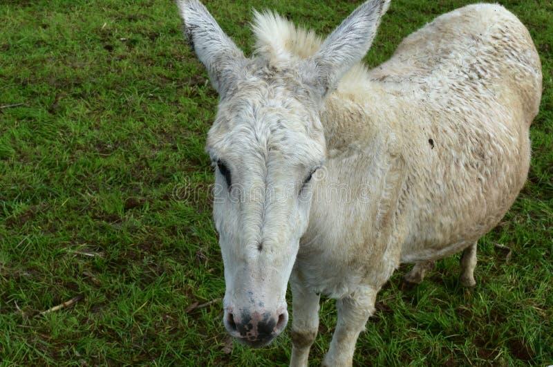 Witte Ezel Vuil van Rolling in Modder stock fotografie