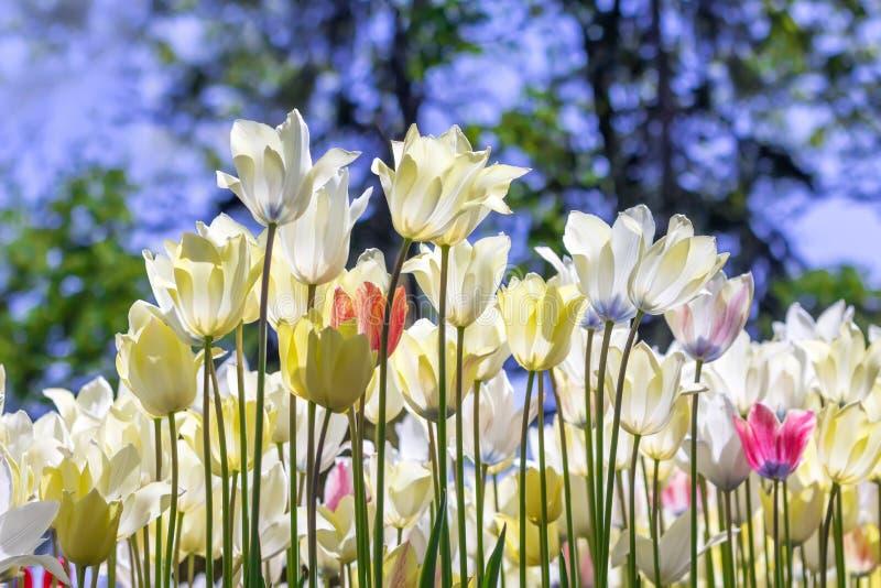 Witte fantastische tulpen tegen de blauwe hemel stock afbeelding