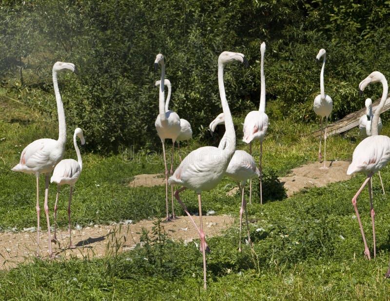 Witte flamingo royalty-vrije stock fotografie