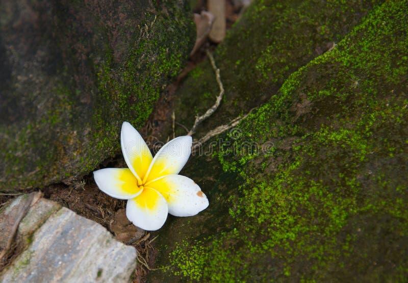 Witte Frangipani-bloemendaling op de vloer stock fotografie