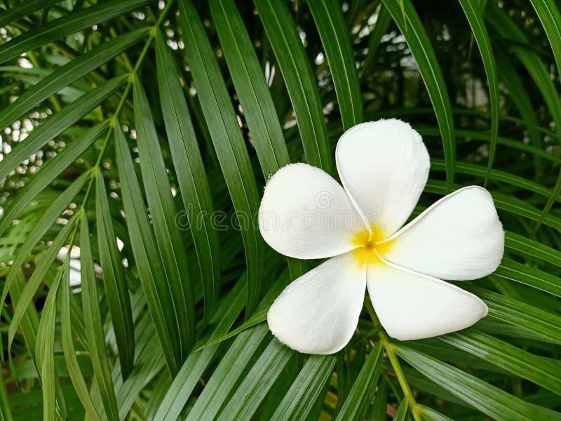 Witte frangipanibloem op groene bladachtergrond royalty-vrije stock afbeeldingen