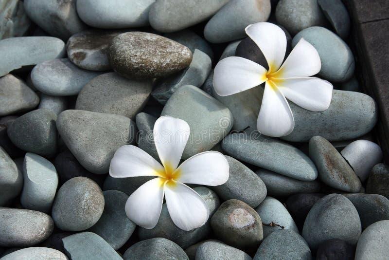 Witte frangipanibloemen stock afbeeldingen