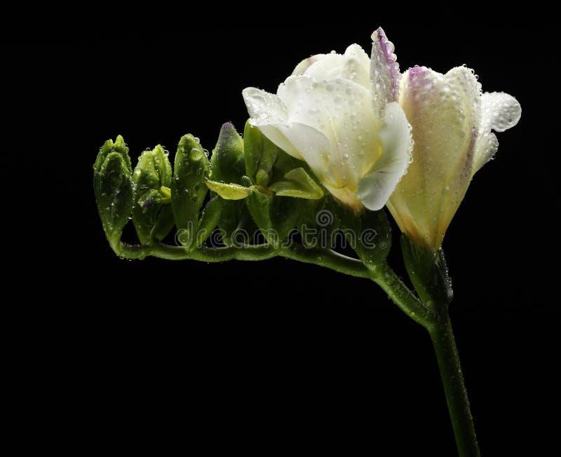 Witte fresia met waterdalingen stock foto