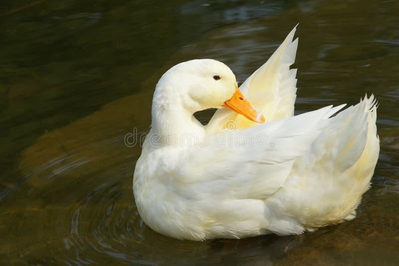 Witte gans royalty-vrije stock fotografie