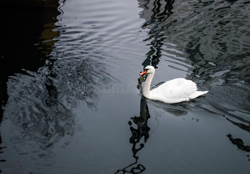 Witte gans die in meer zwemmen stock afbeelding