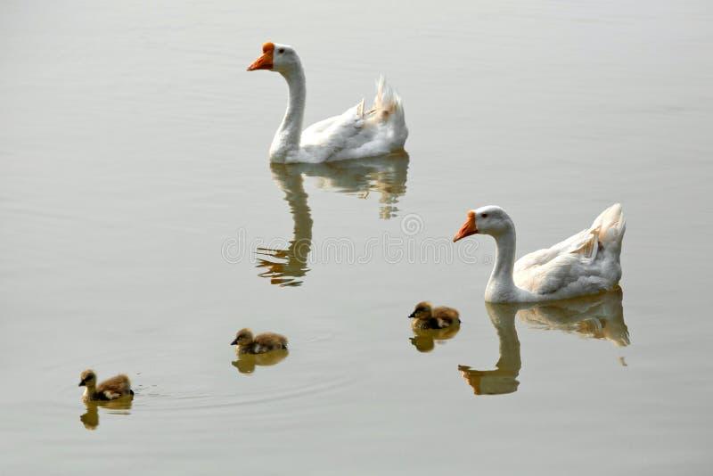 Witte Gans en baby royalty-vrije stock foto's
