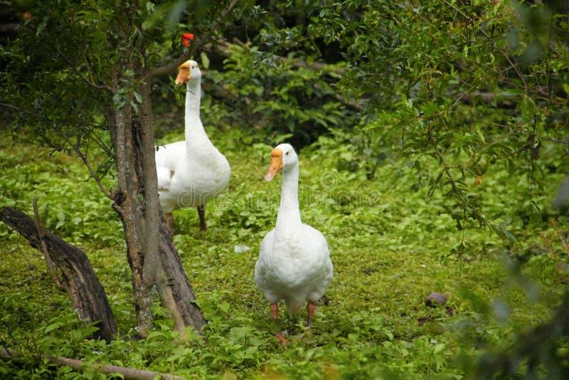 Witte ganzen in greens royalty-vrije stock fotografie