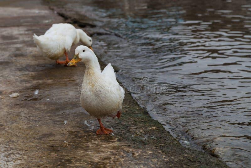 Witte ganzen op de waterkant dichtbij het water stock foto's