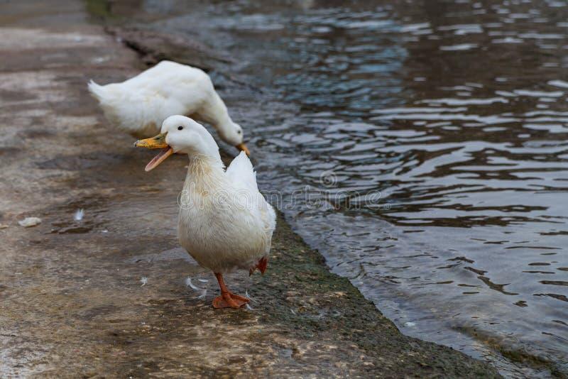 Witte ganzen op de waterkant dichtbij het water stock afbeelding