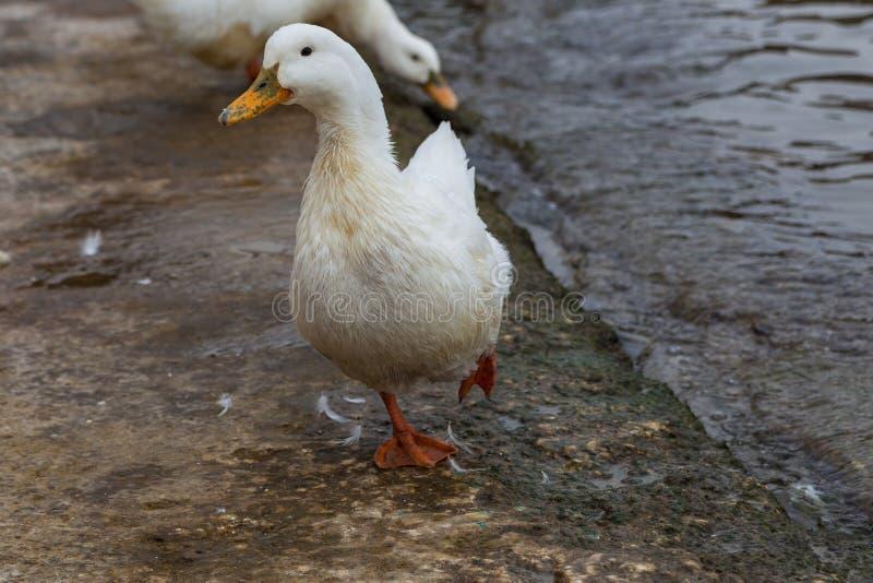 Witte ganzen op de waterkant dichtbij het water royalty-vrije stock foto's