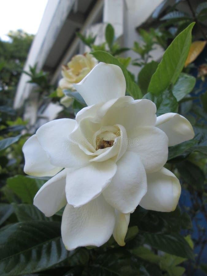 Witte Gardenia in de Lente van Brazilië stock afbeelding
