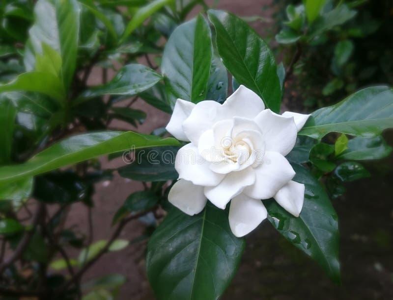 Witte Gardenia Flower After-regen stock foto