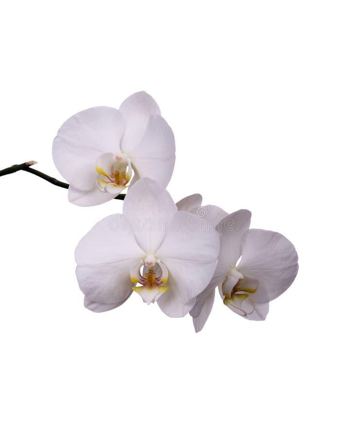 Witte Geïsoleerdeo Orchidee stock fotografie
