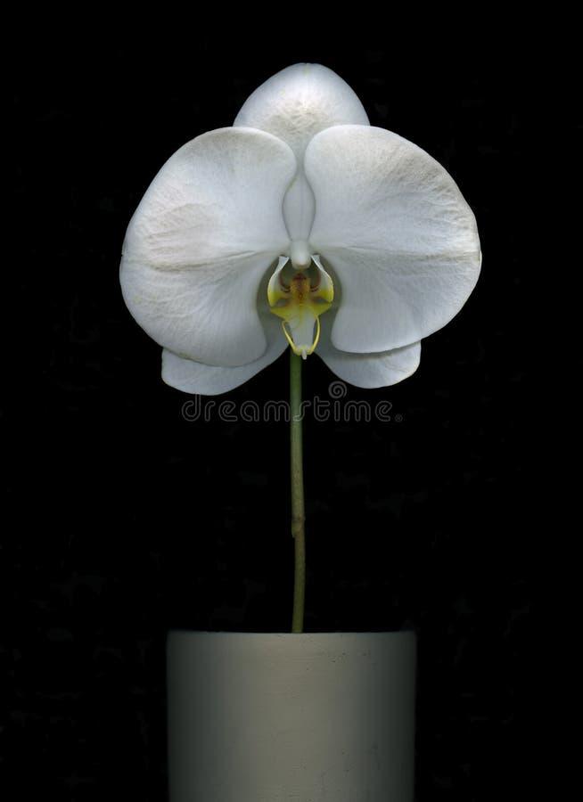 Witte geïsoleerder orchideebloem stock foto's