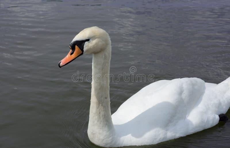Witte Ge?soleerdes Zwaan Witte zwaan op het meer royalty-vrije stock fotografie