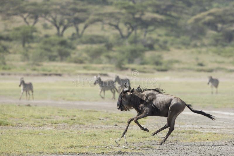 Download Witte Gebaarde Wildebeest Die, Tanzania Lopen Stock Foto - Afbeelding bestaande uit volwassen, gebaard: 29509946
