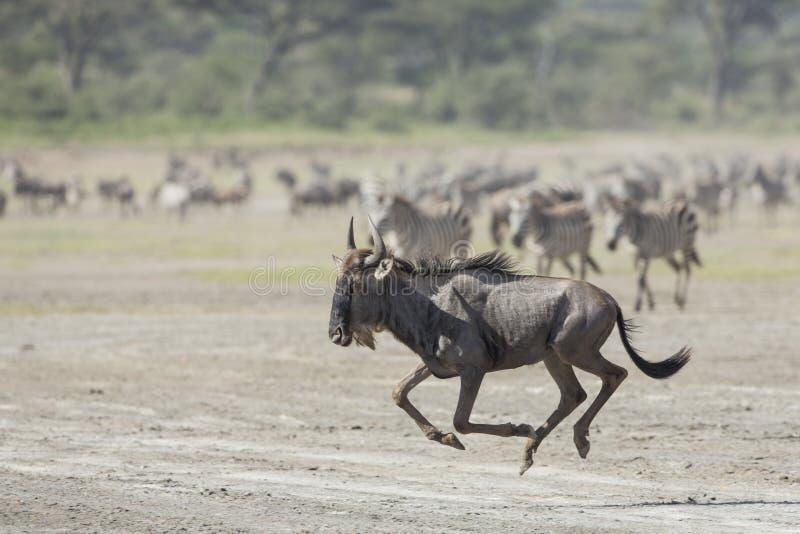 Download Witte Gebaarde Wildebeest Die, Tanzania Lopen Stock Foto - Afbeelding bestaande uit wildebeest, safari: 29510004