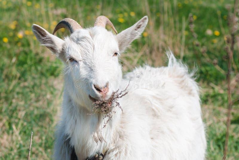 Witte gehoornde geit die droog gras op een groene weide op een de zomer zonnige dag eten royalty-vrije stock afbeelding