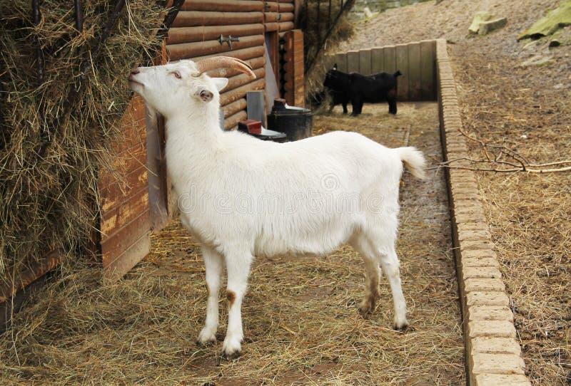 Witte geit royalty-vrije stock foto