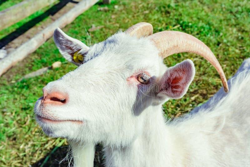 Witte geit met hoorn stock fotografie
