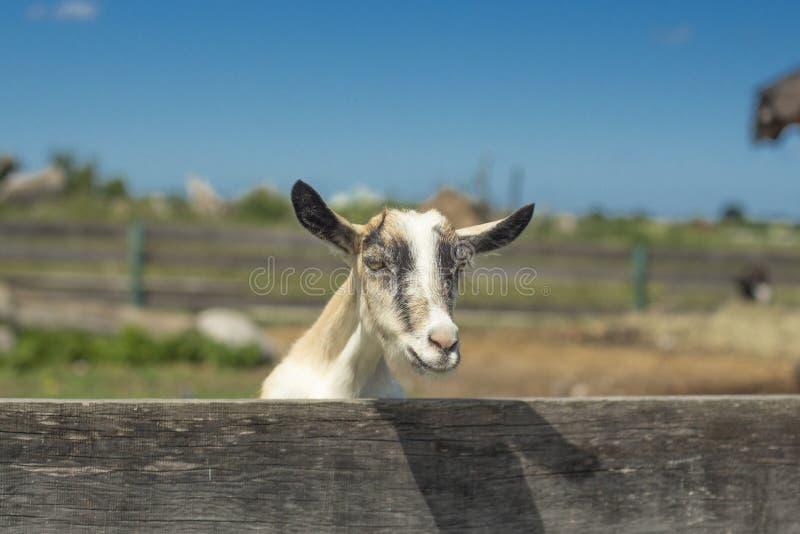 Witte geit met hoornen die uit van achter de omheining gluren stock foto