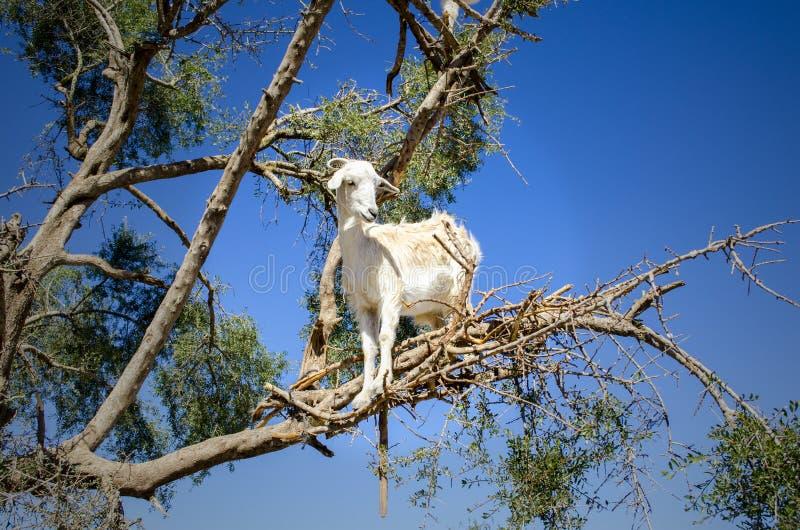 Witte geit omhoog een acaciaboom in Essaouira, Marokko stock afbeelding