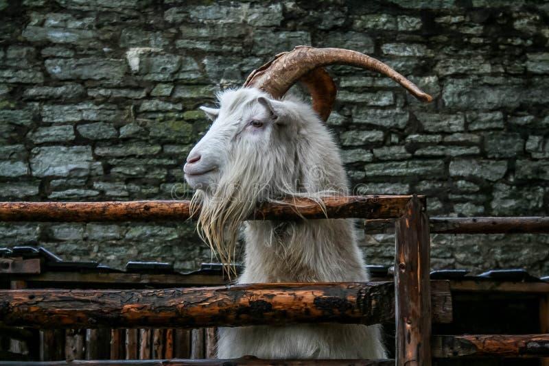 Witte geit op een achtergrond van een bakstenen muur die aan de zij, nieuwsgierige geit achter een houten omheining, hoornen en b stock foto's