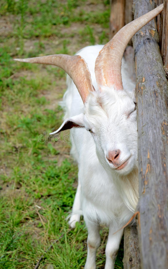 Witte geit op het landbouwbedrijf stock afbeeldingen