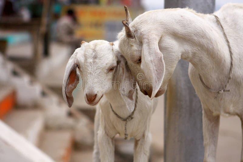 Witte geiten in Ghats in Varanasi - India stock afbeeldingen
