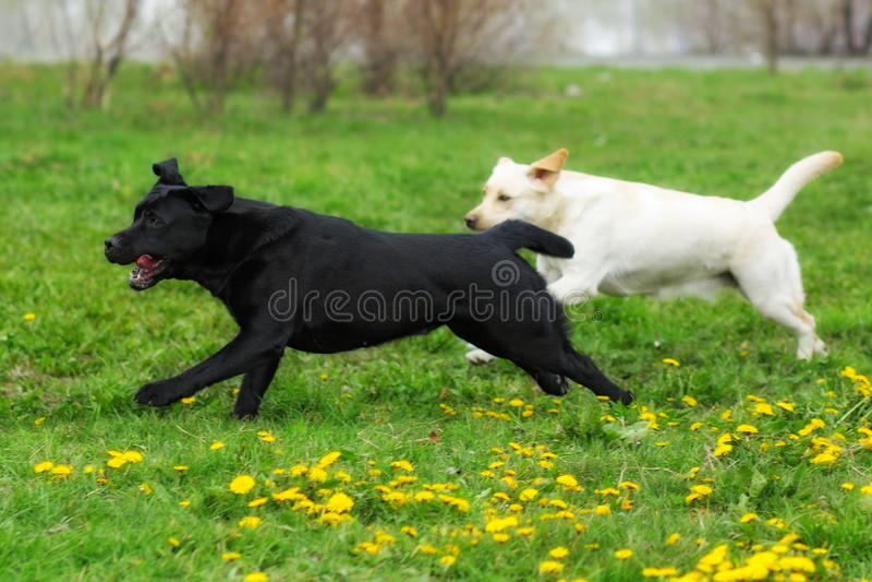 Witte gele en zwarte de pretlooppas van twee hondenlabradors stock afbeeldingen