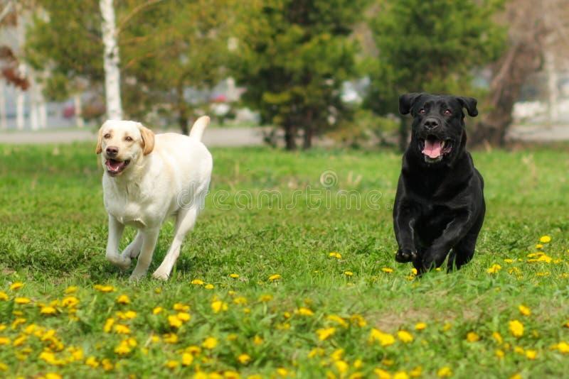 Witte gele en zwarte de pretlooppas van twee hondenlabradors royalty-vrije stock afbeeldingen