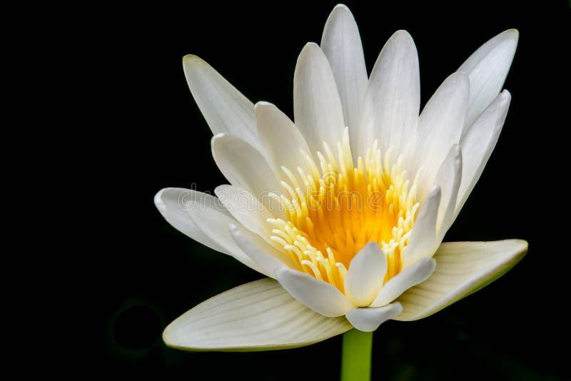 Witte Gele Lotus-bloem op zwarte achtergrond royalty-vrije stock foto
